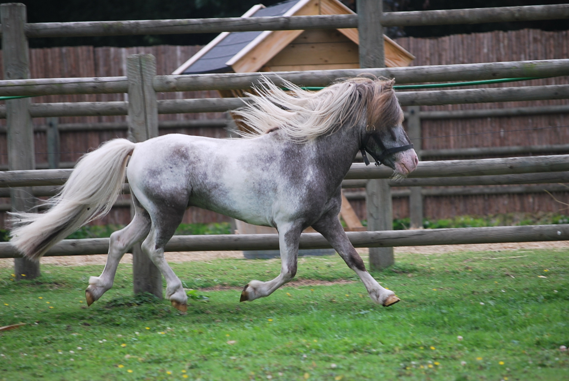 Falabella hengst