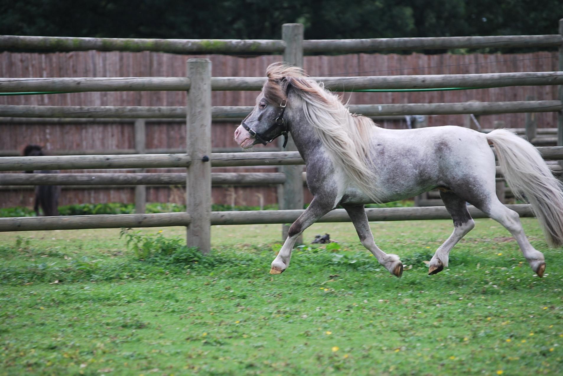 Falabella Hobby Horse Fabio