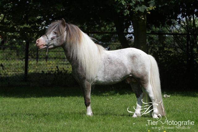 Falabella Hobby Horse Fabio-fabio
