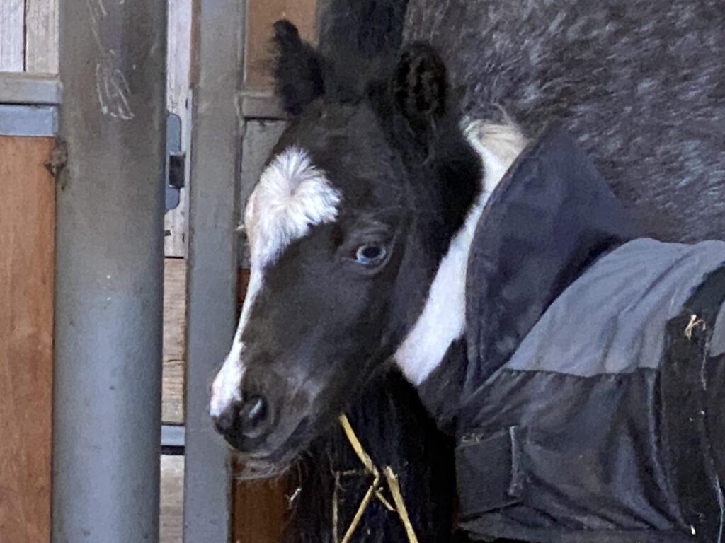 Falabella foal 2021